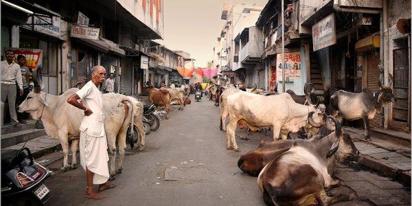 vacas sagradas